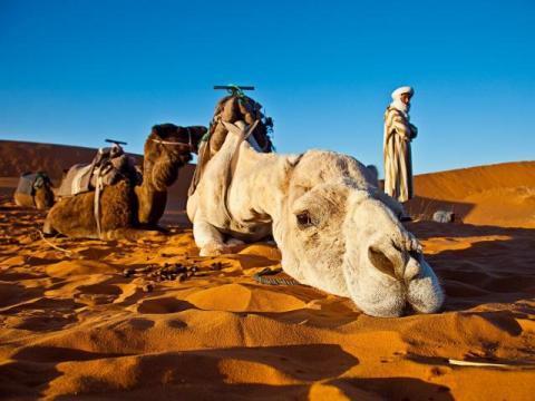 meet our camels - sahara desert morocco